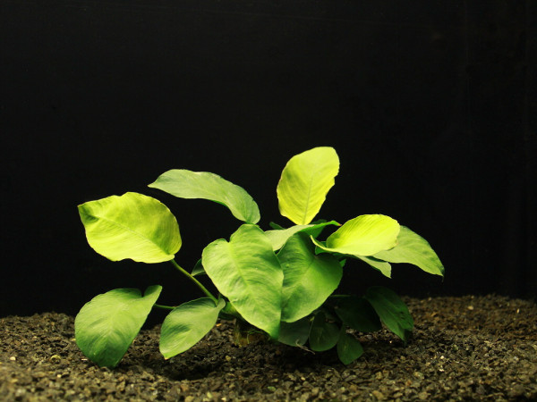 Akvarijni rostliny